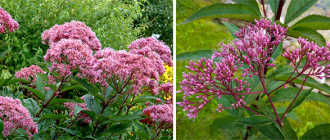 Посконник – самое неприхотливое и очень красивое растение
