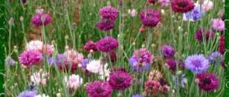 Василек садовый: как вырастить на приусадебном участке