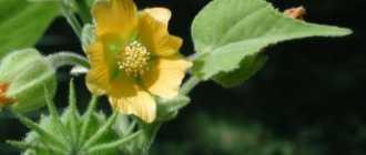 Канатник: фото растения