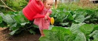 Правила полива капусты