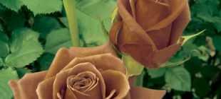 Коричневые розы: описание и фото