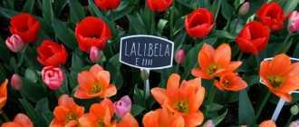 Тюльпан лалибела: описание и фото