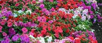 Цветок недотрога: описание и фото