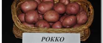 Картофель рокко: характеристика