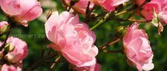 Розы клаймбер: описание и фото