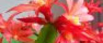 Цветок декабрист: описание и фото