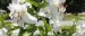 Белая лилия: описание и фото