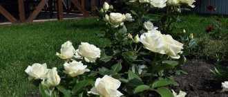Описание розы мондиаль