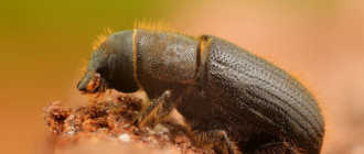 Борьба с жуком-короедом