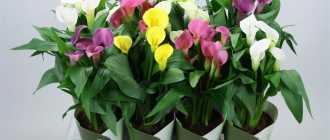 Комнатные цветы каллы