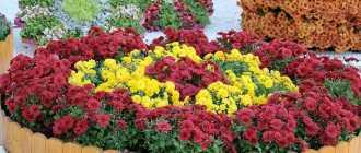 Низкорослые цветы для клумбы: названия