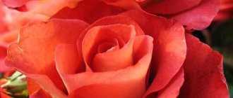 Роза леонидс: описание и фото