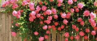 Роза лагуна: описание