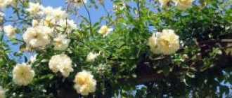 Роза клаймбер: описание и фото