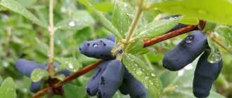 Жимолость съедобная: посадка, выращивание и уход, описание