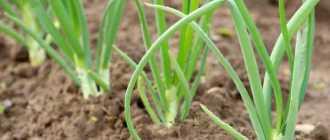 Особенности выращивания лука-порея