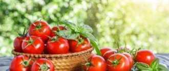 Низкорослые томаты: описание
