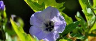 Никандра: фото цветка