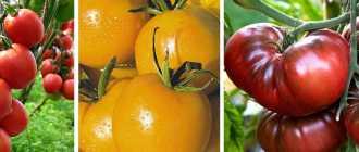 Выращивание урожайных томатов