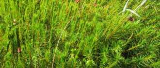 Кукушкин лен: описание и фото
