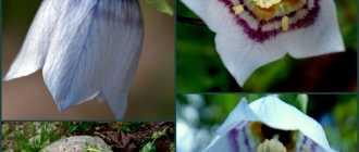Кодонопсис: фото, выращивание