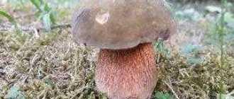 Дубовик: описание гриба