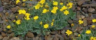 Цветы ястребинки: фото
