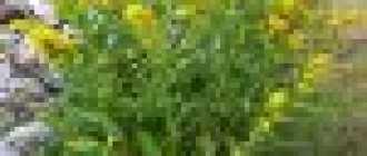 Золотая розга: описание и фото
